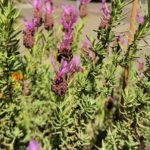 Lavendel auf der Terrasse vom SAMPOR-KAFFEE-BERLIN · SKB